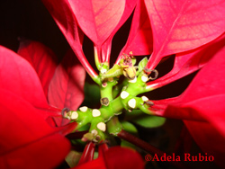 poinsetta photo by Adela Rubio